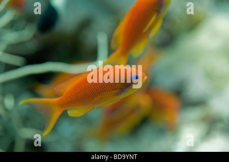 Profile view of an Anthias fish. - Stock Photo