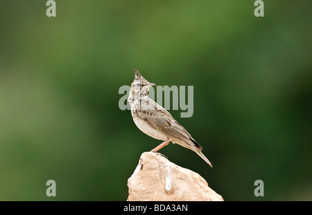 Crested Lark Galerida cristata perched on rock Turkey spring - Stock Photo