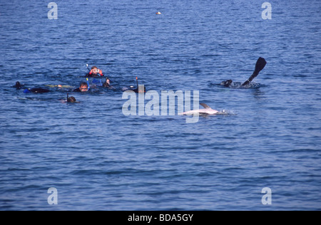 Snorkelers interacting with a solitary sociable bottlenose dolphin Tursiops aduncas named Holly in Nuweiba, Egypt - Stock Photo