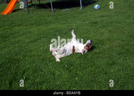 Jack Russell Jack Russells dog rolling - Stock Photo