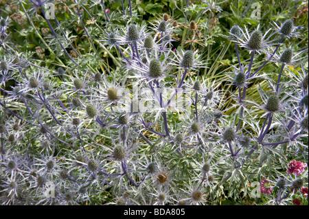 Eryngium x Zabelii alpinum x bourgatii Eryngium - Stock Photo