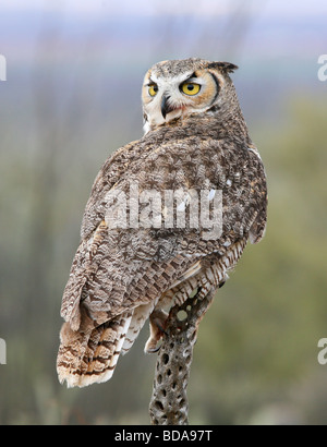 Great Horned Owl Perching - Stock Photo