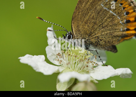 Black Hairstreak butterfly (Satyrium pruni) taking nectar from a bramble flower, Northamptonshire, UK - Stock Photo