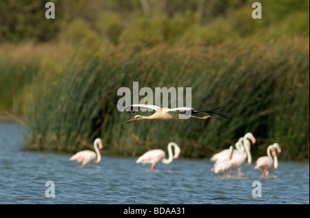 White Stork flying low over lake with Greater Flamingos wading behind - Stock Photo