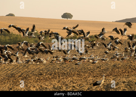 Flock of White Storks taking off from ploughed field - Stock Photo