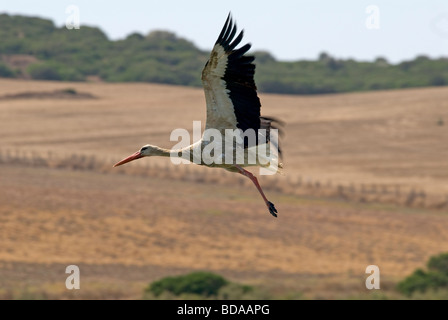 Juvenile White Stork just after take off from lake - Stock Photo
