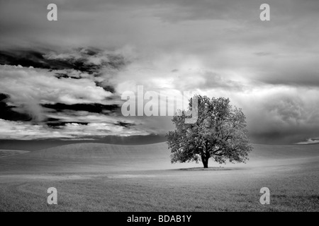 Lone tree and clouds in wheat field The Palouse Washington - Stock Photo