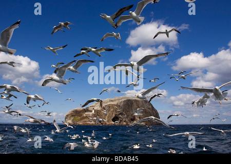 Bass Rock Lothian Scotland - Stock Photo