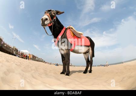 Looking up at donkey Lowestoft Beach, Suffolk  UK Stock Photo