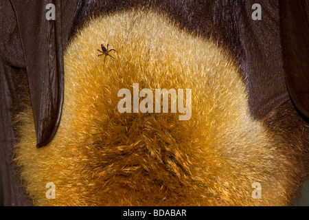 Grey-headed flying fox Pteropus poliocephalus Fruit Bat with tick parasite - Stock Photo