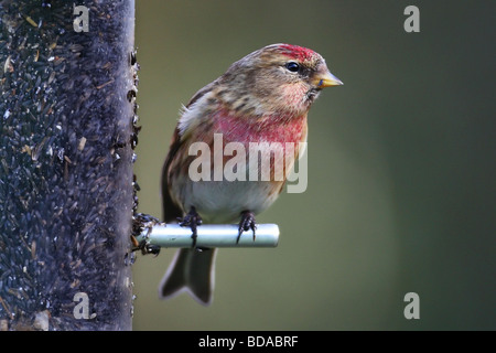 Common Redpoll Carduelis flammea rare bird finch on feeder - Stock Photo