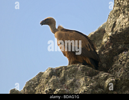 GRIFFON VULTURE  GYPS FULVUS PERCHED ON ROCKS. EXTREMADURA  SPAIN - Stock Photo