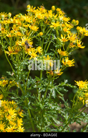 Common Ragwort ( Senecio jacobaea ) a native UK/European wild flower it is a poisonous weed, yet also supports rare - Stock Photo