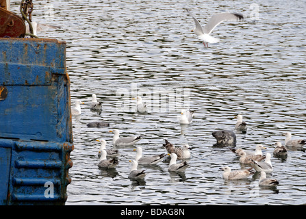Grey Seals (Halichoerus grypus) and adult and juvenile Herring Gulls (Larus argentius) wait hopefully for scraps - Stock Photo