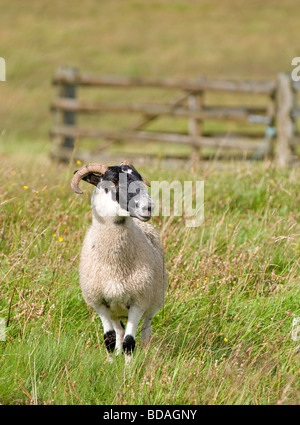 Young Blackfaced Sheep or Ewe Lamb on a Scottish Upland Farm - Stock Photo
