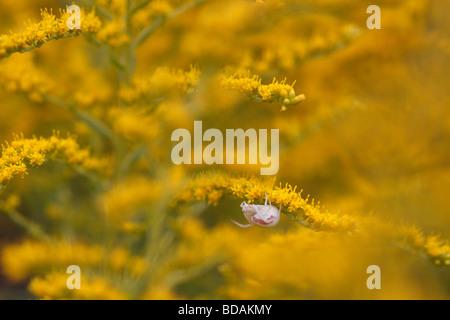 Misumena vatia, a crab spider, sitting on goldenrod (solidago) - Stock Photo
