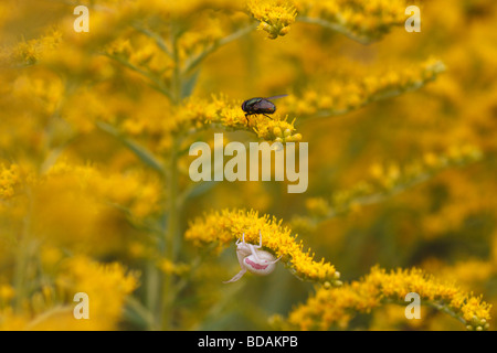 Misumena vatia, a crab spider, sitting on goldenrod (solidago). A greenbottle fly sits on the same flower - Stock Photo