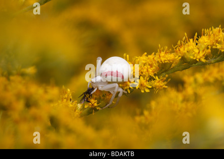 Misumena vatia, a crab spider, sitting on goldenrod (solidago). She is feeding on a small fly. - Stock Photo