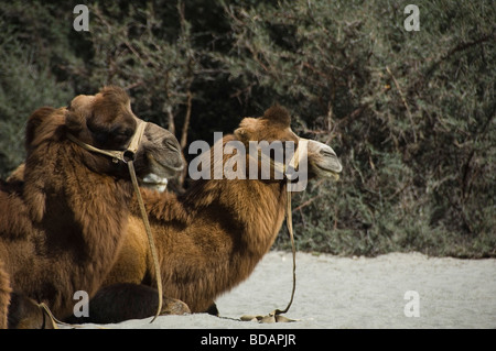 Two bactrian camels sitting in a desert, Hunder, Nubra Valley, Ladakh, Jammu and Kashmir, India - Stock Photo