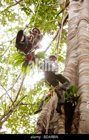 Indonesia Sulawesi Operation Wallacea Lambusango forest reserve canopy access students high in tree - Stock Photo