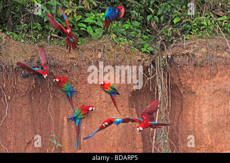 scarlet macaws and green-winged macaws at a clay lick, Tambopata National Reserve, Amazon Area, Peru, South America Stock Photo
