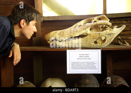 a boy looking at the skull of a caiman, Tambopata National Reserve, Amazon Area, Peru, South America - Stock Photo