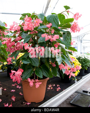 Begonia dragon wing pot grown plant with small pink flowers in pot grown plant with small pink flowers in abundance mightylinksfo