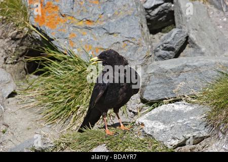Alpendohle Pyrrhocorax graculus Alpine Chough - Stock Photo
