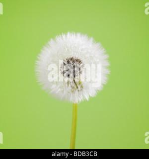 Dandelion Clock. ( Taraxacum Officinale. ) - Stock Photo