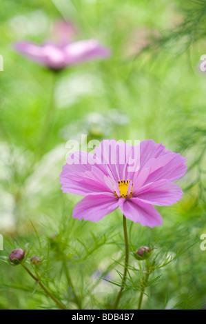 Cosmos bipinnatus 'sea shells' flower - Stock Photo