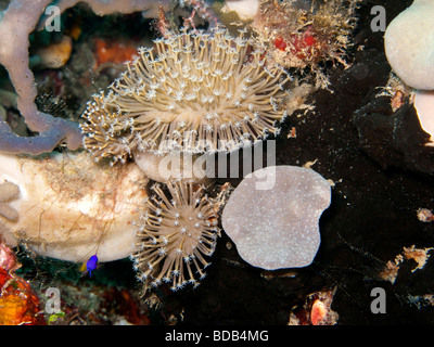 Indonesia Sulawesi Wakatobi National Park flower soft corals Xenia sp on colourful coral reef - Stock Photo