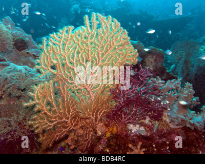 Indonesia Sulawesi Wakatobi National Park underwater Gorgonian sea fan feeding in current - Stock Photo