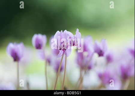 Cyclamen hederifolium flowering in autumn. Ivy-leaved cyclamen - Stock Photo