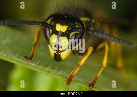 macro close-up of a Common Wasp (Vespula vulgaris) head - Stock Photo