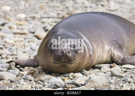 Southern elephant seal Mirounga leonina pup Fortuna Bay South Georgia Antarctica - Stock Photo