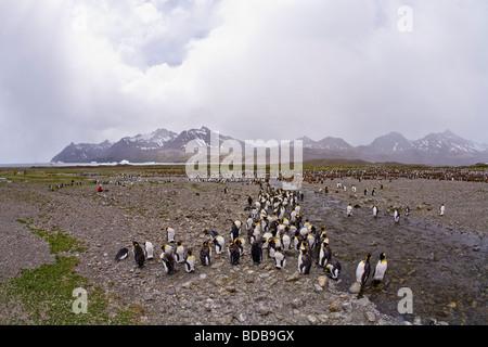 Juvenile King Penguins Aptenodytes patagonicus moulting into adult plumage Fortuna Bay South Georgia Antarctica - Stock Photo
