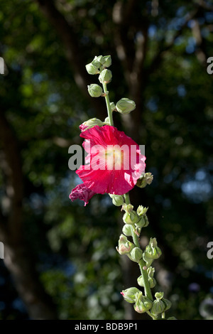 Hollyhock, Stockros (Alcea rosea) - Stock Photo