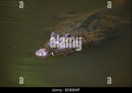 Spectacled Cayman, Caiman crocodilus, in a lake in the rainforest at Isla Bastimentos national park, Bocas del Toro - Stock Photo