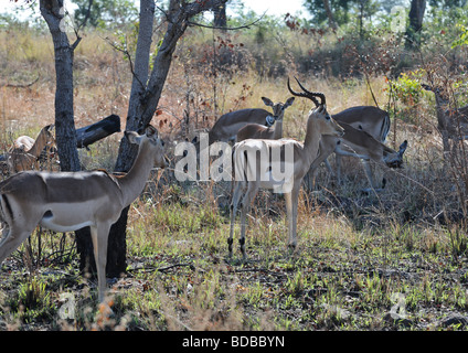 Herd of smart vigilant springbok antelopes hiding together in shadow of trees in wilderness of wildlife reserve - Stock Photo