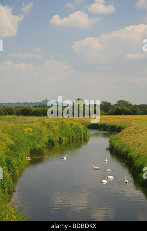 A group of mute swans on the River Brue near Westhay with Glastonbury Tor in the background, Somerset, England, - Stock Photo