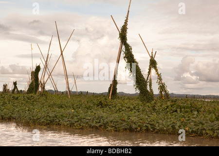 Indonesia Sulawesi Sengkang Danaue Tempe Lake fishing industry mats of water hyacinth anchored to form habitat for - Stock Photo
