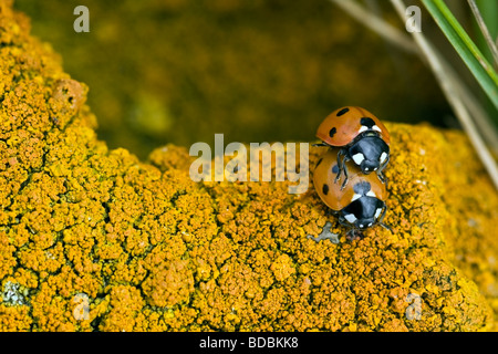 Two 7-spot ladybirds mating on colourful Yellow Scales lichen - Stock Photo