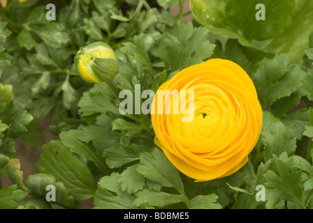 Ranunculus sp, 'Island Sunset', Ranuncolaceae - Stock Photo