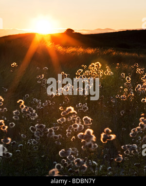 Thistles backlit by the setting sun growing on the dunes at Ross Point on the Northumbrian coast, England - Stock Photo