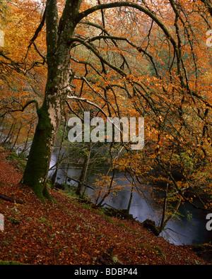 Mature Beech tree in Autumn colour, Glen Garry, Lochaber, Scotland, UK. - Stock Photo