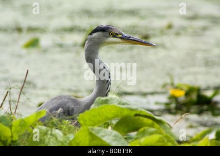 A grey heron. River Lee London. - Stock Photo