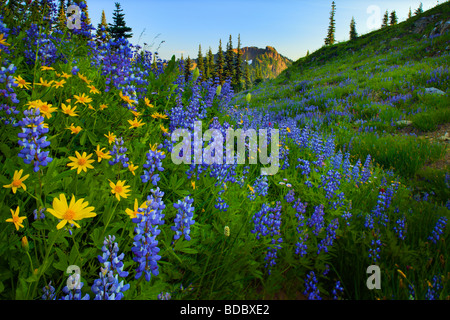Lupines and sunflowers along Naches Peak trail in Mount Rainier National Park - Stock Photo