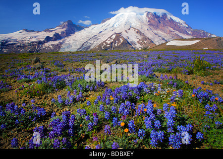 Carpet of lupines on 1st Burroughs Mountain in Mount Rainier National Park in Western Washington, USA - Stock Photo