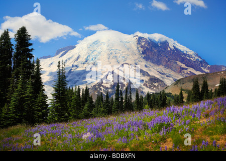 Meadows carpeted with lupines at Sunrise in Mount Rainier National Park - Stock Photo