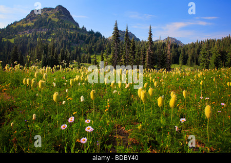 Pasque flowers (Western Anemones) at Tipsoo Lake in Mount Rainier National Park - Stock Photo